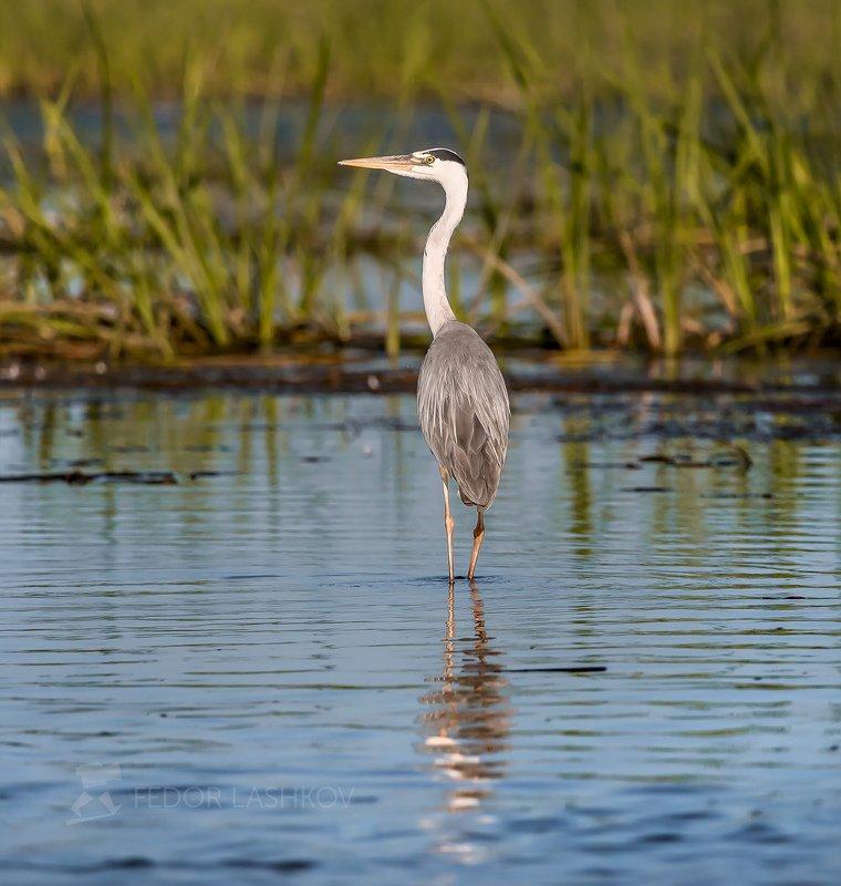 астраханская область, река, вода, волга, астраханский заповедник, цапли, цапля, птица, дикие животные, фауна, птица, птицы, Разные виды семейства цаплевых.photo preview