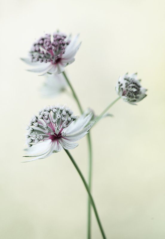 Astrantiaphoto preview