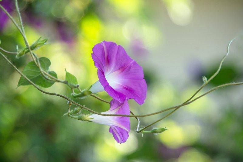 макро,цветы,лето,природа,листья,morning glory,розовый,ипомея, Morning Gloryphoto preview
