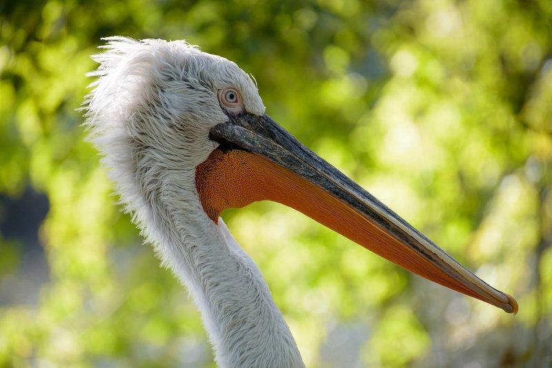 портрет пеликанаphoto preview