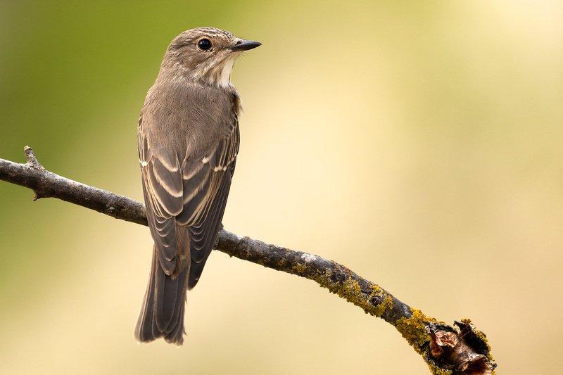птицы, животные, природа, анималистика, birdwatching, мухоловка, flycatcher, birds, wildlife, nature Серая мухоловкаphoto preview
