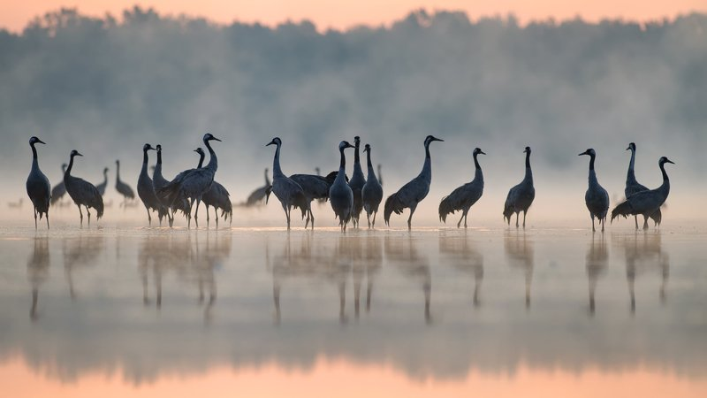 серый журавль, grus grus, crane, żuraw Cranesphoto preview