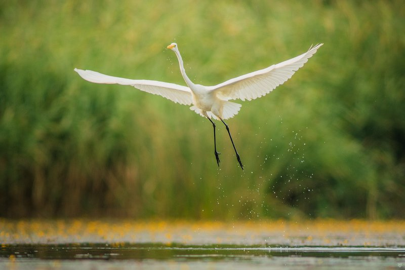wildliife, bird, Great egret Monoplanephoto preview