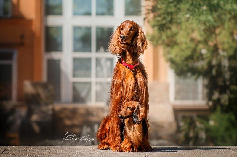 собака, анималистика, город, портрет Рыжая бандаphoto preview