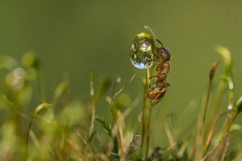 муравей, вода, капля Жаждаphoto preview