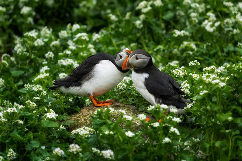 puffins, puffin, norway, hornoya, wildlife, nature, birds, birdwatching, птицы, тупики, природа Тупики: свадебная фотосессияphoto preview