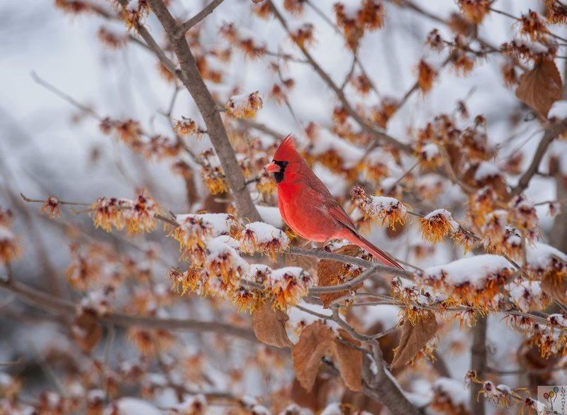 Northern Cardinal in snowphoto preview