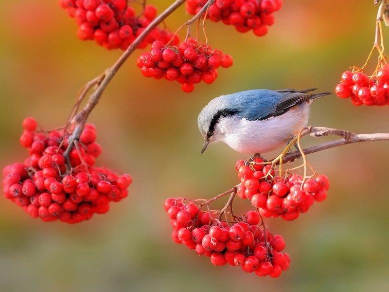 природа, фотоохота,  птицы, животные, осень Рябиновая осеньphoto preview