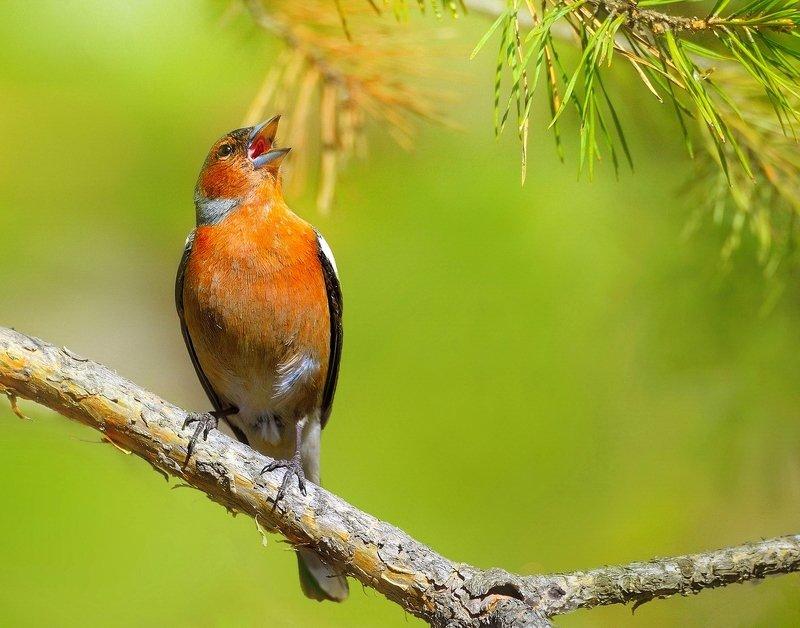 природа, фотоохота,  птицы, животные, весна, зяблик Весенние песниphoto preview