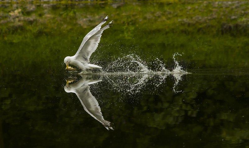 Птица, чайка, рыбалка Удачная рыбалкаphoto preview