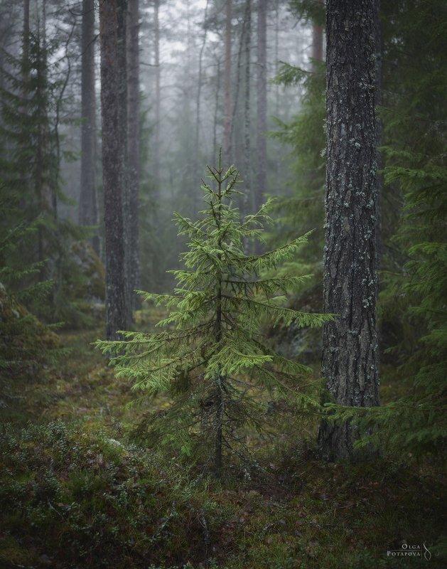 ленинградская область, выборгский район, карельский перешеек, север, лес, осень, туман, озеро, камни Сказка северного лесаphoto preview