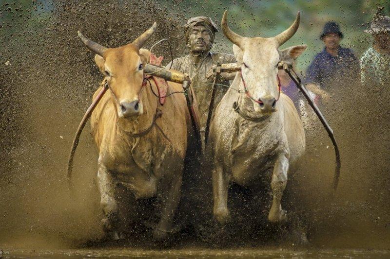 pacu jawi, tanah datar, cow race, sumatera barat, minangkanau, indonesia Pacu Jawi (Cow Race)photo preview