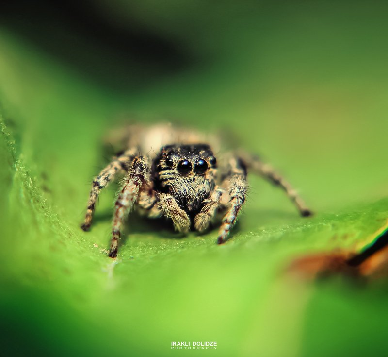 spider, jumping spider, cute, macro, macro photography, close-up, green, bokeh, canon, macro lens, eyes Jumping Spider (first attempt)photo preview