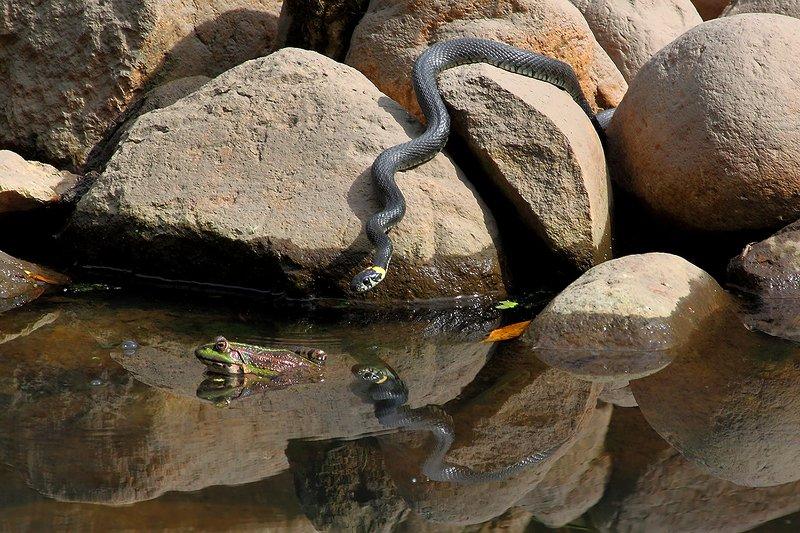 лягушка, уж, угроза Скрытая угрозаphoto preview