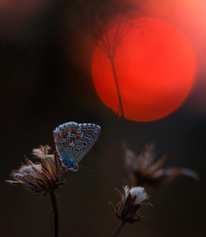 макро, бабочка, голубянка, вечер, солнце, закат ***photo preview