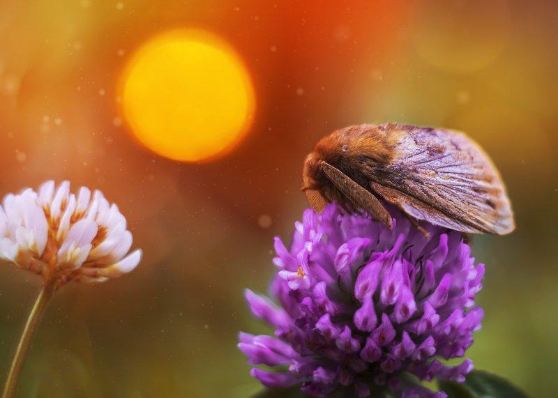ночная, бабочка, мотылек, цветы, нежность, макро, закат, клевер, гелиос44 Сон в летнюю ночьphoto preview