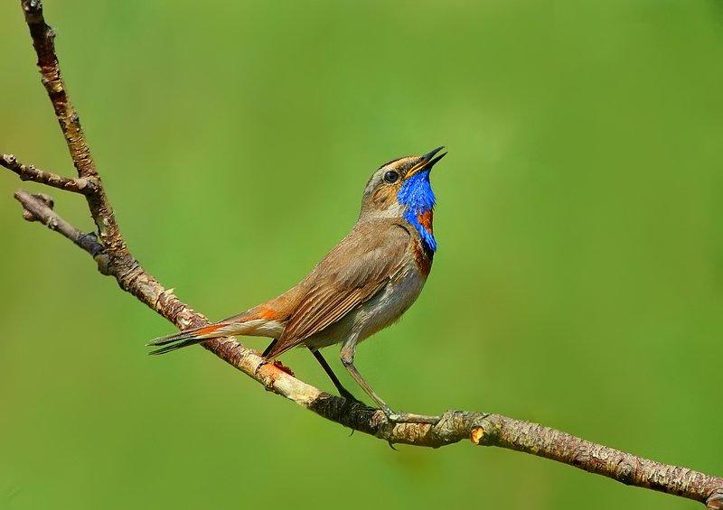 природа, фотоохота, варакушка, птицы, животные, лето Летние песниphoto preview
