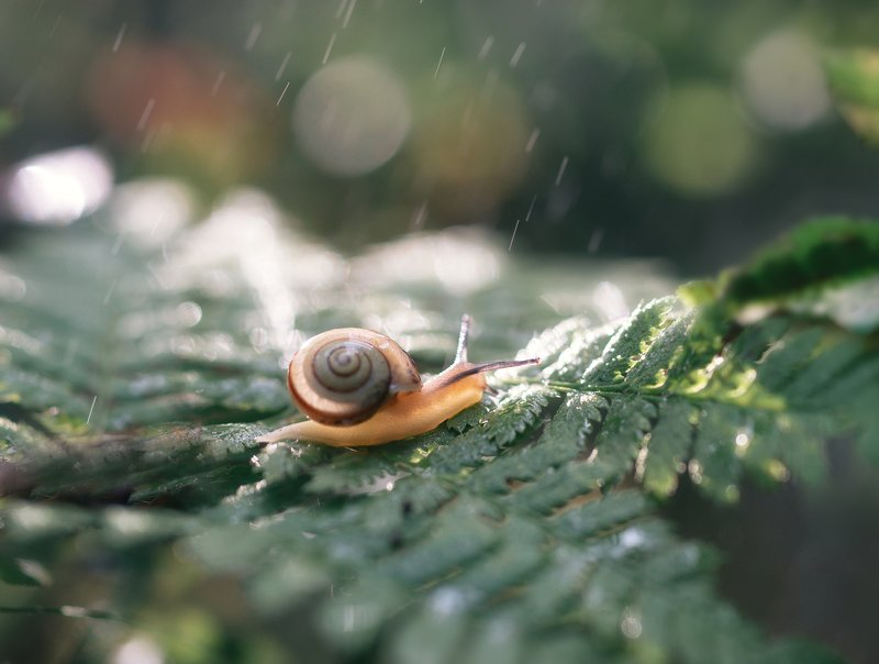 улитка, лес, папоротник, бокешки, свет, солнце, дождь, капли photo preview