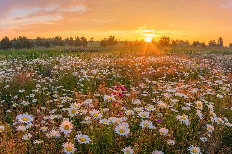 ромашки утро солнце муха рассвет цветы про ромашкиphoto preview