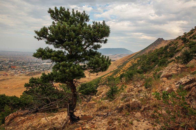 деревья,сосна.пейзаж,горы,дагестан, Деревья..photo preview