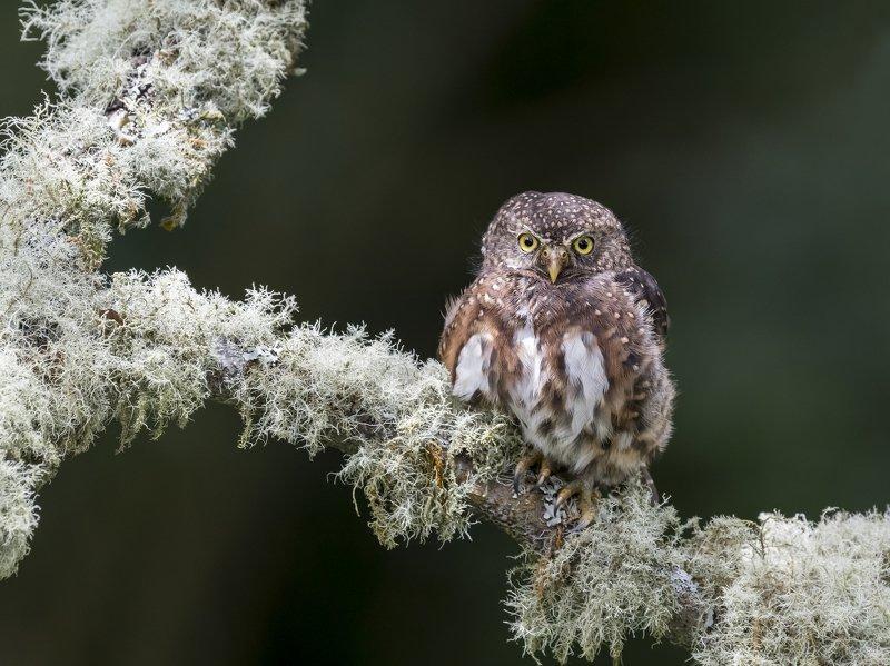 Costa Rican Pygmy-Owl (Glaucidium costaricanum) Mochuelo Montañero R-END фото превью