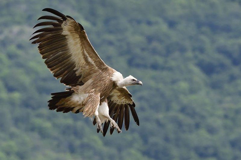 птицы birds Griffon vulturephoto preview