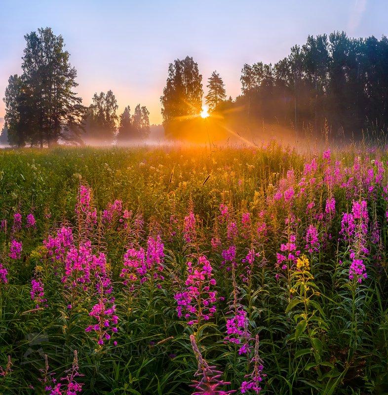 ленинградская область, сосна, иван-чай, цветы, рассвет, лето, туман, солнце, лучи, радость, луг, цветущий, парк, павловск, Радость нового дня!photo preview