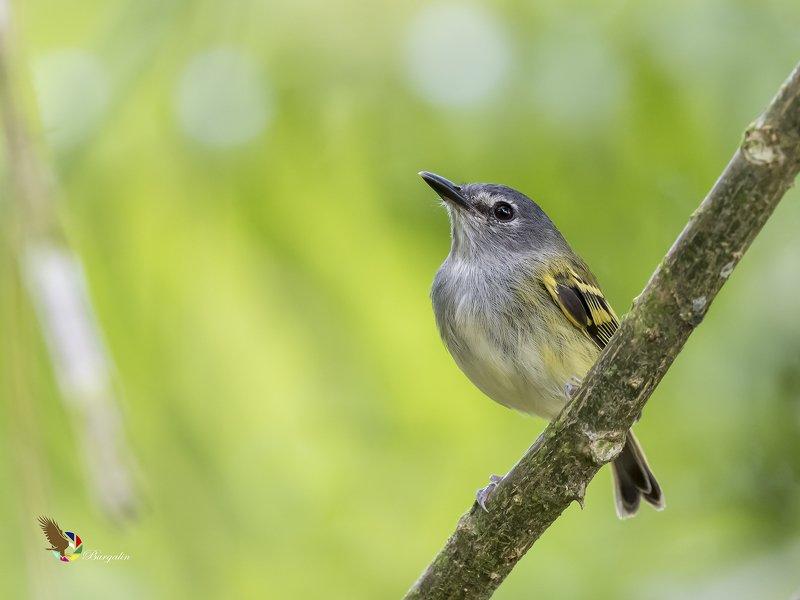 Slate-headed Tody-Flycatcher (Poecilotriccus sylvia) Espatulilla Cabecigrís R фото превью