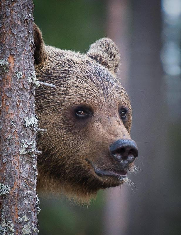 bear, finland Bear surprise, Finlandphoto preview