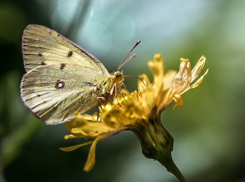 природа,макро, цветы, бабочка ***photo preview