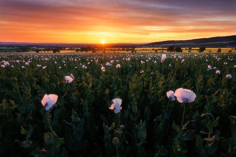 landscape, poppy, field, sunset Puppy Fieldphoto preview