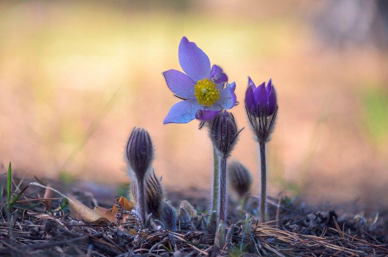 весна, цветы, сон-, трава Нежностьphoto preview