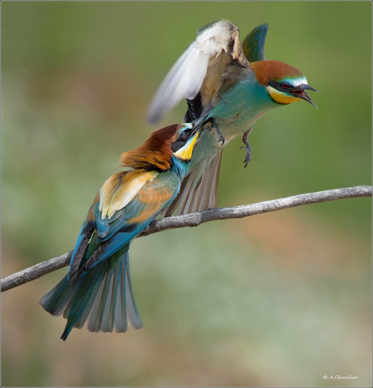 щурки,птицы,драка,отпусти,прихватил Ой ой, отпусти )photo preview