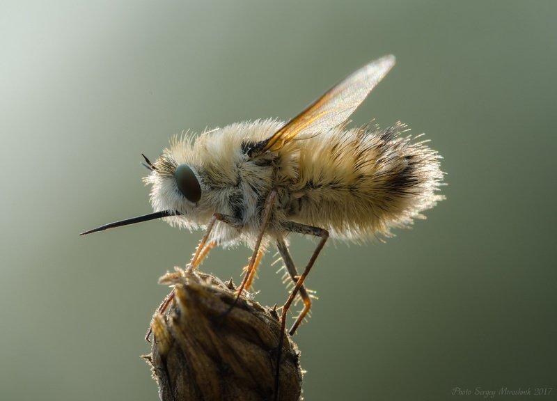 макро, муха, красиво, растение, насекомое, крылья, нос , жужжала, украина Жужжала фото превью