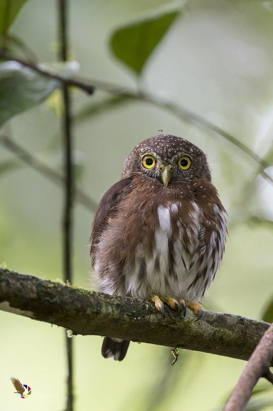 Central American Pygmy-Owl (Glaucidium griseiceps) Mochuelo Enano R фото превью