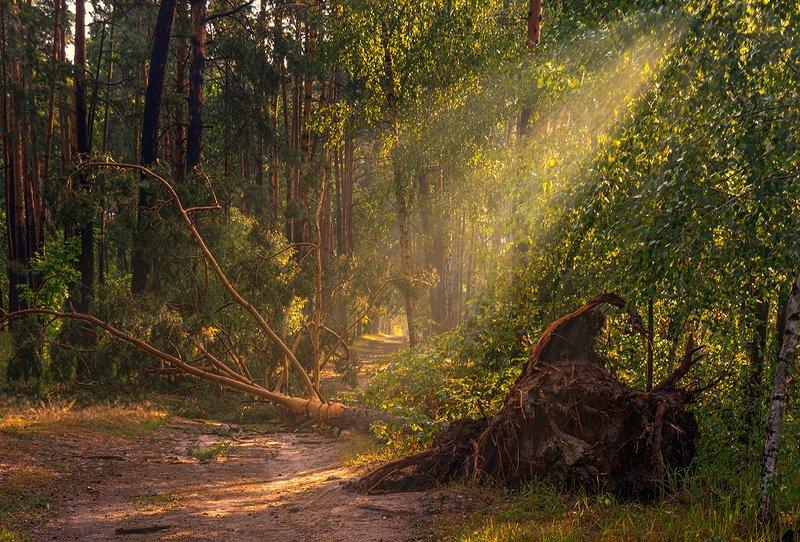 landscape, пейзаж, утро, лес,  деревья, солнечный свет,  солнце, природа, солнечные лучи,  прогулка, упавшее дерево, корни, прогулка в лесуphoto preview