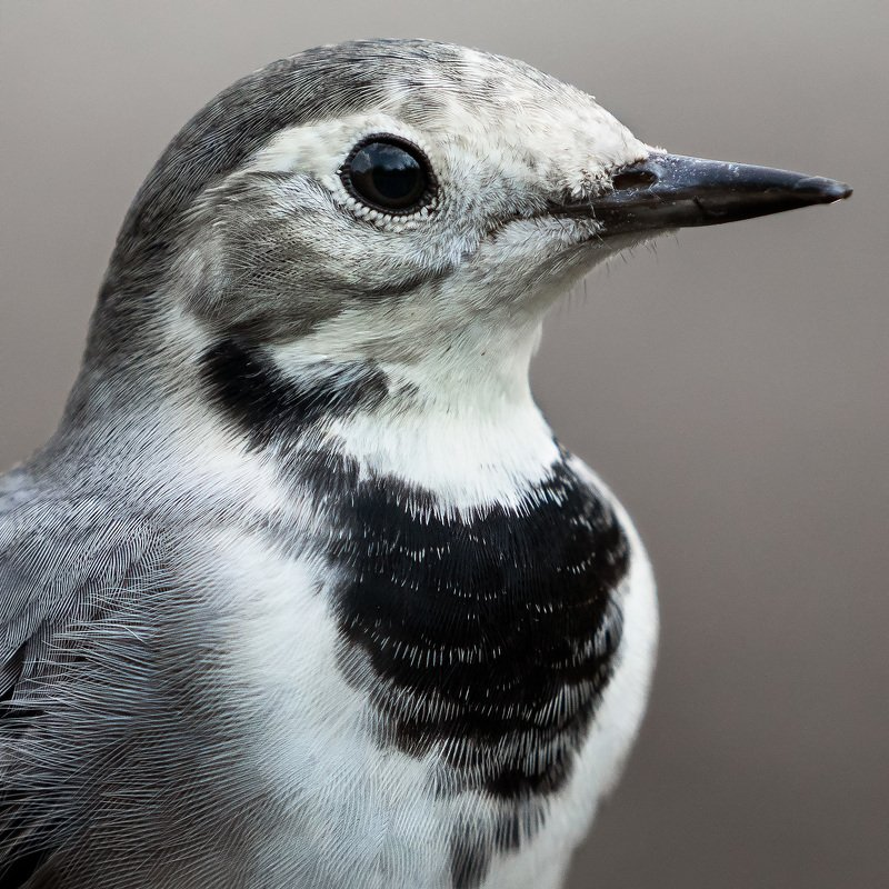 птицы, трясогузка, наблюдение за птицами, природа, nature, wildlife, birdwatching Белая трясогузкаphoto preview