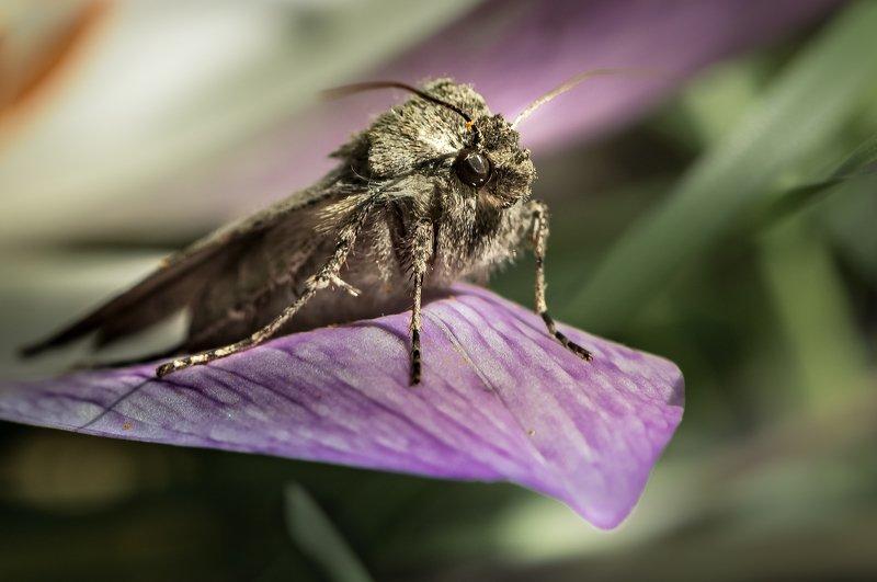 природа, макро, цветок, безвременник, бабочка, совка Blue Canaryphoto preview