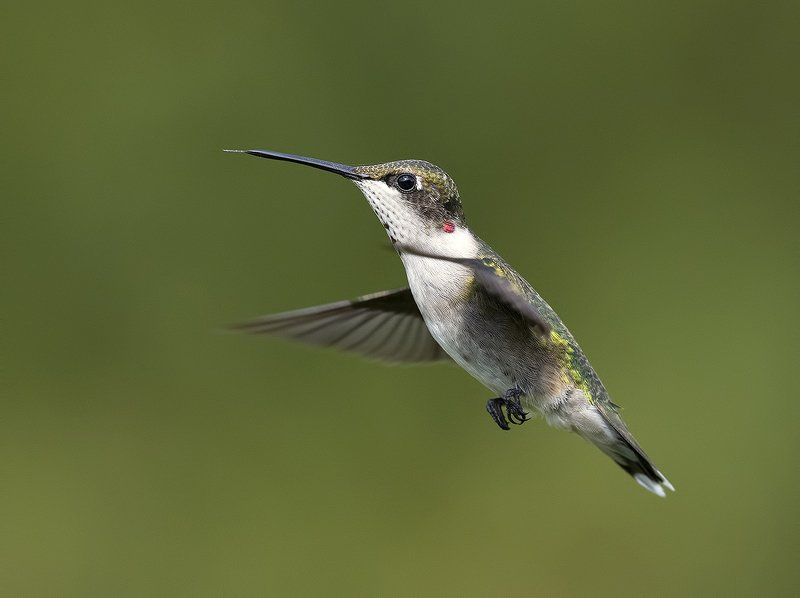 колибри,ruby-throated hummingbird, hummingbird Колибри - Hummingbird flight фото превью