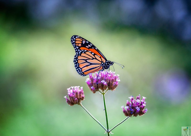 Monarch butterflyphoto preview