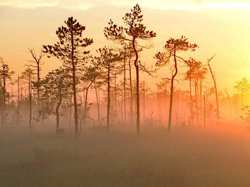карелия, болото, трава, деревья, рассвет, солнце Карельские болотаphoto preview