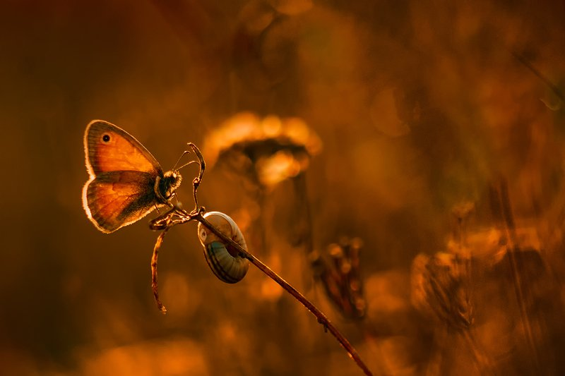 лето, макро, бабочка, сенница, вечер ***photo preview