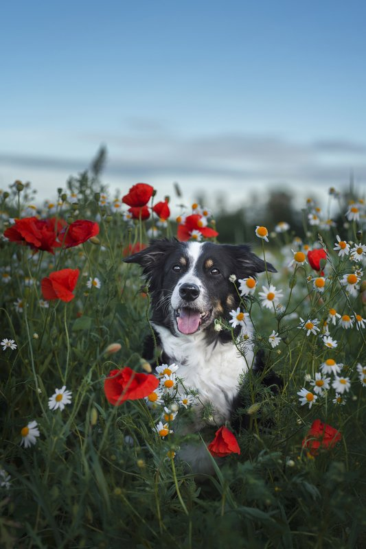 dog, bordercollie, poppies  Joy and poppies photo preview