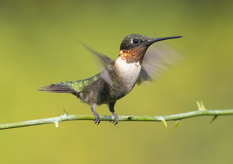 колибри,ruby-throated hummingbird, hummingbird Колибри - Ruby-throated Hummingbird фото превью