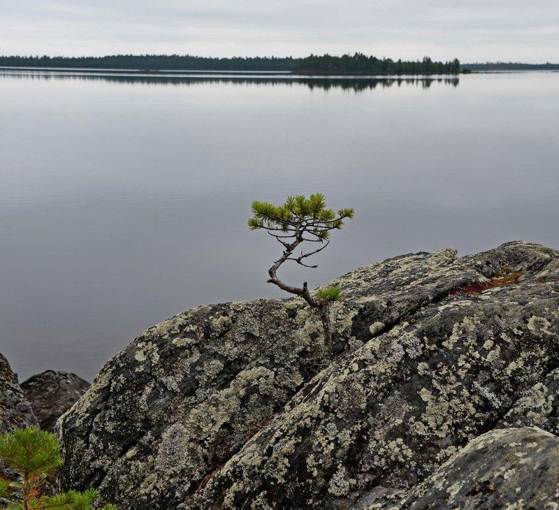 сосна, скала, озеро, карелия, вода На севереphoto preview