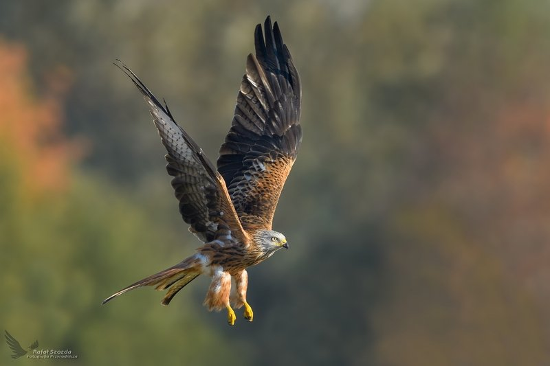 red kite, birds, nature, animals, wildlife, colors, meadow, raptors, flight, nikon, nikkor, lens, sunlight, lubuskie, poland Kania Ruda, Red Kite (Milvus milvus) ... фото превью