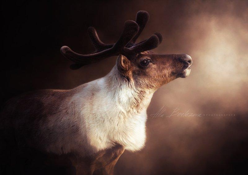 олень, deer, photography, wildlife, nature, reindeer Reindeerphoto preview