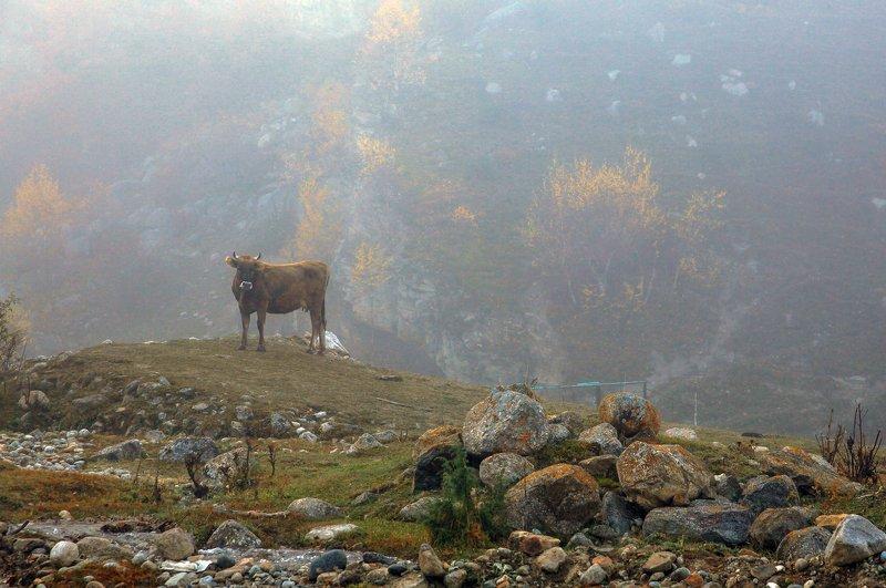 корова,утро,туман.горы,черекское ущелье,кбр, Утром..photo preview