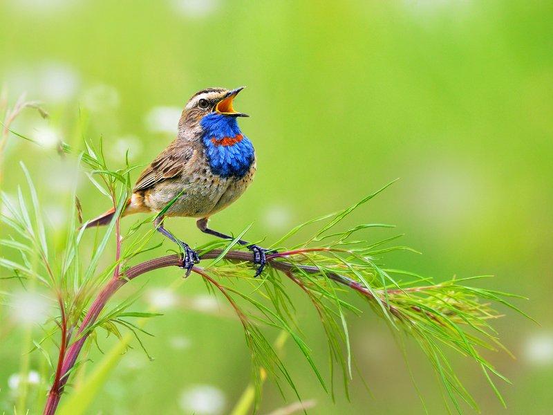 природа, фотоохота, варакушка, птицы, животные, цветы, лето Варакушка -  соловейphoto preview