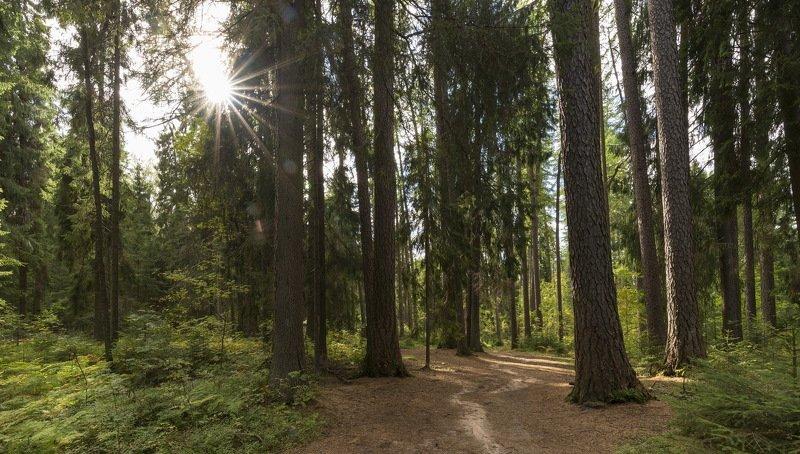 Лидуловская лиственничная рощаphoto preview